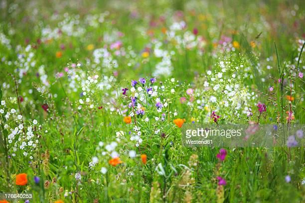 germany, baden wuerttemberg, view of flower meadow - art stock-fotos und bilder
