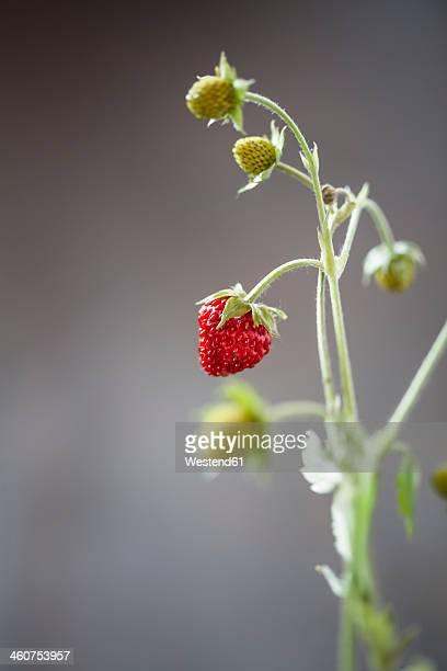 Germany, Baden Wuerttemberg, Wild strawberries, close up