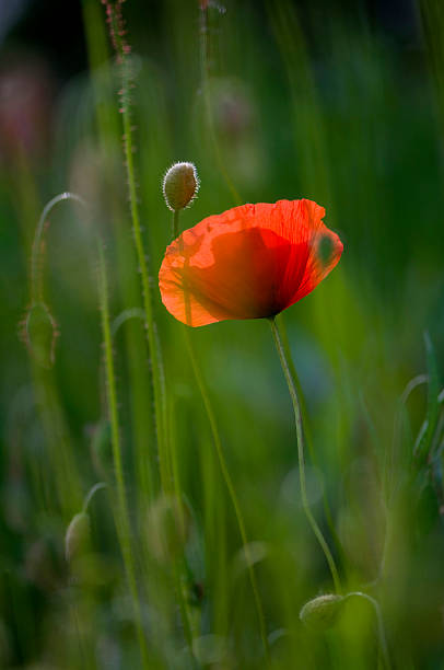 Germany, Baden Wurttemberg, Poppy (Papaver), close-up