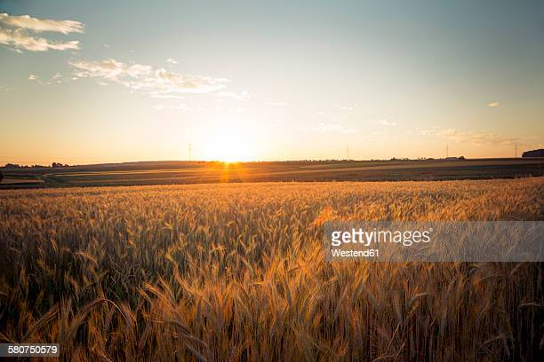 Germany, Baden-Wuerttemberg, barley field against the evening sun