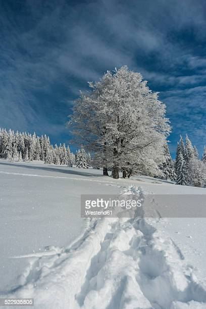 Germany, Baden-Wuerttemberg, Black Forest, Feldberg, Trees and tracks in snow in winter