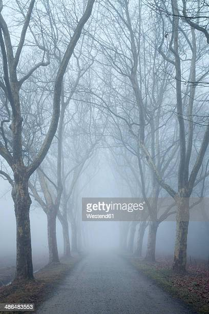 germany, baden-wuerttemberg, constance district, avenue of plane trees in fog - sycamore tree stock photos and pictures