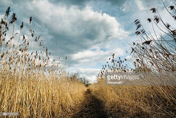 Germany, Baden-Wuerttemberg, Constance District, Peninsula Mettnau, foot path and reed