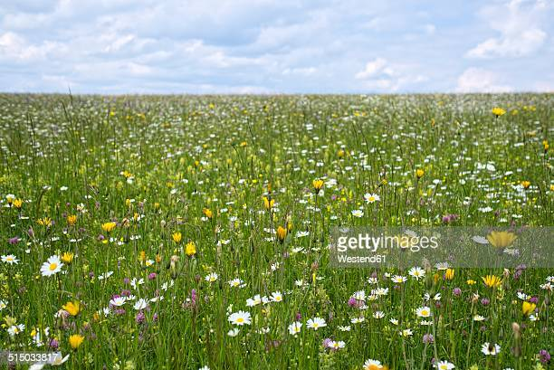 germany, baden-wuerttemberg, flower meadow - marguerite daisy stock photos and pictures