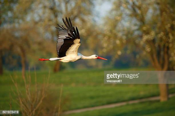 Germany, Baden-Wuerttemberg, Hohenlohe, White stork, Ciconia ciconia, flying