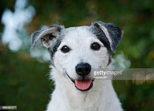germany, baden-wuerttemberg, jack russel terrier, adult - jack russell terrier imagens e fotografias de stock