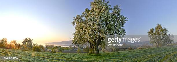 germany, baden-wuerttemberg, lake constance, meadow with trees and untersee - obstbaum stock-fotos und bilder