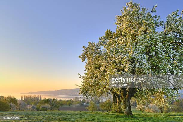 Germany, Baden-Wuerttemberg, Lake Constance, meadow with trees and Untersee