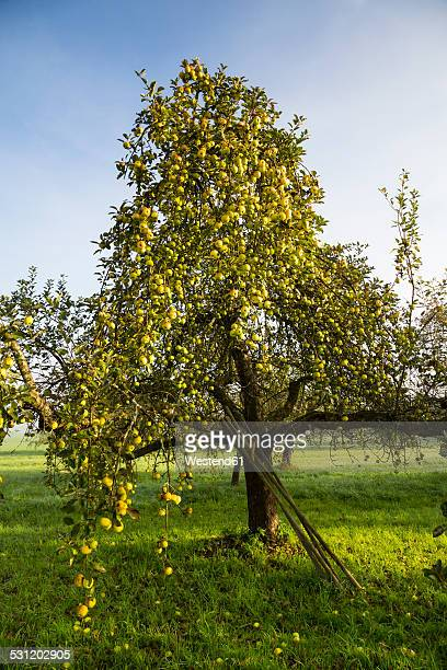 germany, baden-wuerttemberg, near tuebingen, apple tree - obstbaum stock-fotos und bilder