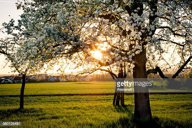 Germany, Baden-Wuerttemberg near Tuebingen, blossoming pear tree on a meadow with scattered fruit trees in the evening