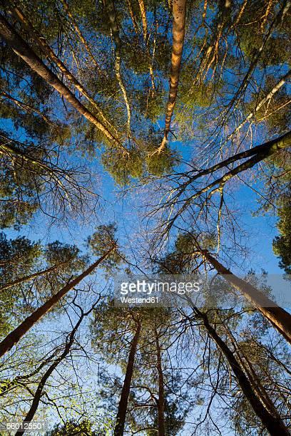 Germany, Baden-Wuerttemberg near Tuebingen, tree tops