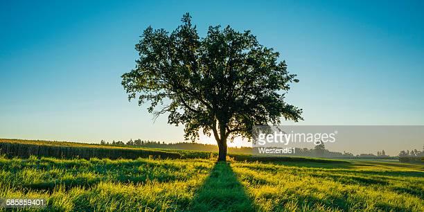 Germany, Baden-Wuerttemberg, old Pedunculate Oak on a meadow