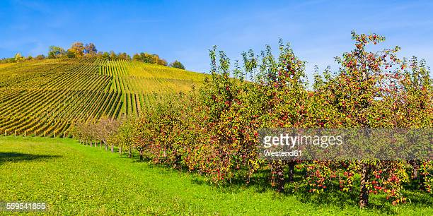 Germany, Baden-Wuerttemberg, Remstal, vineyard and apple trees