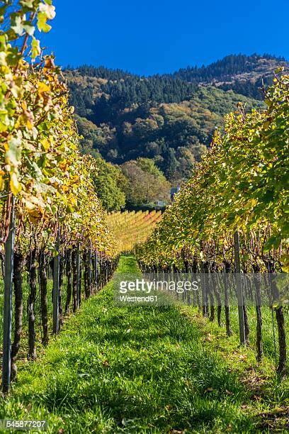 Germany, Baden-Wuerttemberg, Staufen im Breisgau, vineyard