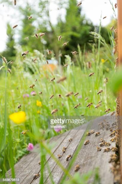 Germany, Baden-Wuerttemberg, Ueberlingen, bee swarm at bee box