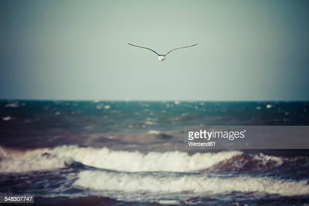 Germany, Baltic Sea, Dahme, seagull above the sea