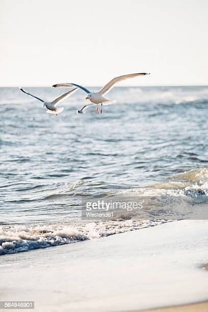Germany, Baltic Sea, seagulls in the hunt