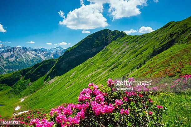 Germany, Bavaria, Allgaeu Alps, Fellhorn, alpine roses