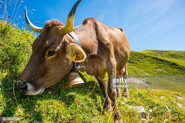Germany, Bavaria, Allgaeu, Cattle, dairy cow eating