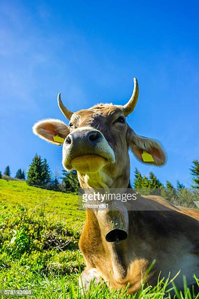 Germany, Bavaria, Allgaeu, Cattle, dairy cow, portrait
