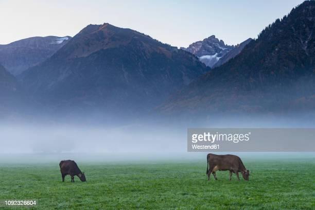Germany, Bavaria, Allgaeu, cattles on an alpine meadow near Oberstdorf, morning fog