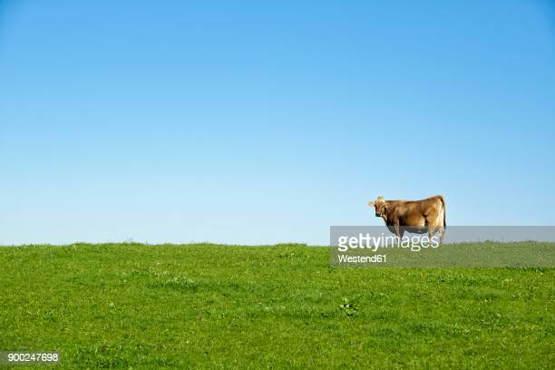 germany, bavaria, allgaeu, cow on pasture - wiese stock-fotos und bilder