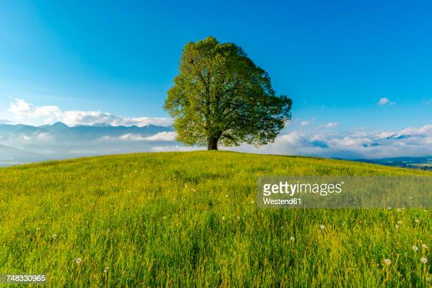 germany, bavaria, allgaeu, friedenslinde at wittelsbacher hoehe - single tree stock pictures, royalty-free photos & images