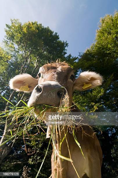 Germany, Bavaria, Allgau, Cattle eating grass