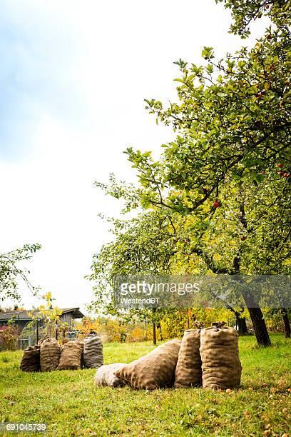 Germany, Bavaria, Apple harvest