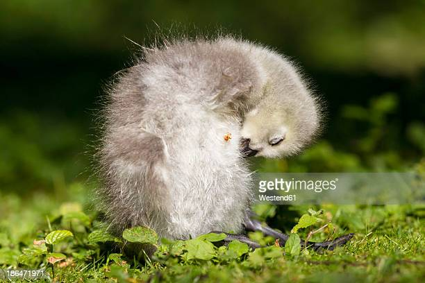 Germany, Bavaria, Barnacle goose chick on grass