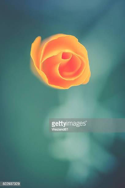 germany, bavaria, california poppy, eschscholtzia californica - california golden poppy stock pictures, royalty-free photos & images