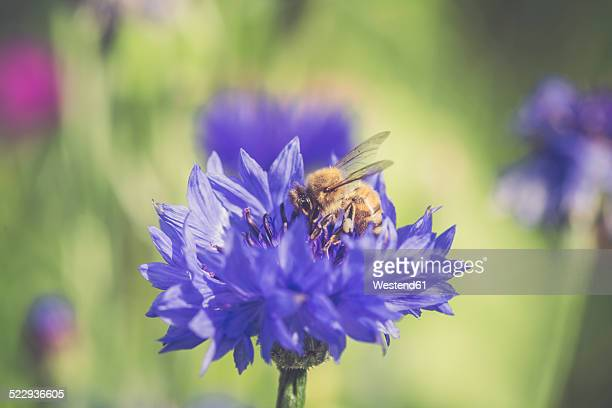Germany, Bavaria, Cornflower, Centaurea cyanus, and bee