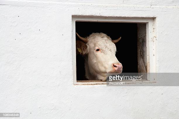Germany, Bavaria, Cow peeking through barn window