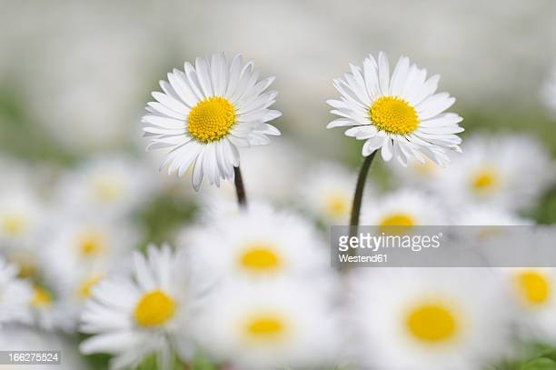Germany, Bavaria, Daisies (Bellis perennis), close-up
