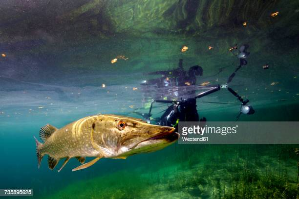 germany, bavaria, diver and northern pike in echinger weiher - pike fish stock pictures, royalty-free photos & images