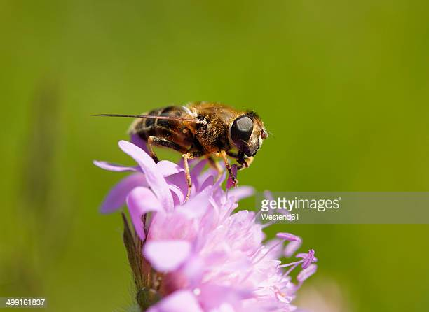 Germany, Bavaria, drone fly (Eristalis tenax)