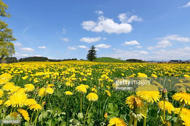 Germany, Bavaria, East Allgaeu, Bernbeuren, view to meadow covered with dandelions (Taraxacum officinale)