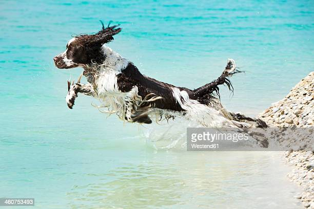 germany, bavaria, english springer spaniel jumping in water - springer spaniel stock pictures, royalty-free photos & images