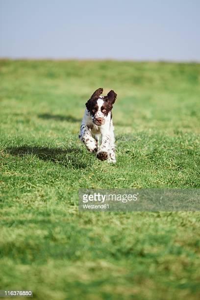 germany, bavaria, english springer spaniel on grass - english springer spaniel stock pictures, royalty-free photos & images