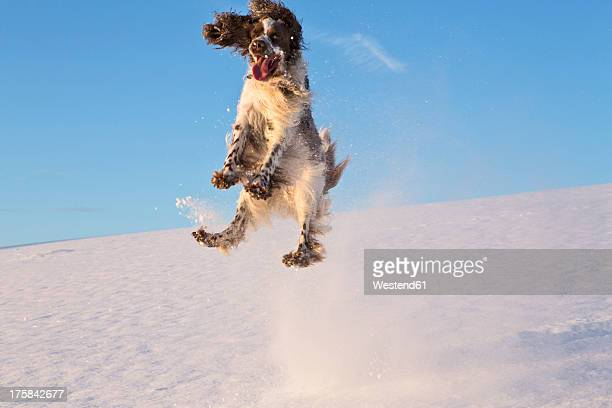 Germany, Bavaria, English Springer Spaniel playing in snow