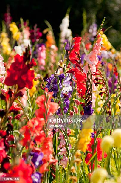 germany, bavaria, field of gladiolus, close up - gladiolus stock pictures, royalty-free photos & images