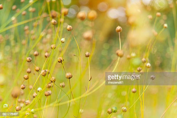 Germany, Bavaria, flax in spring