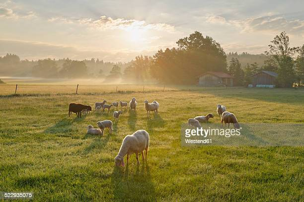 Germany, Bavaria, flock of sheep at Simssee