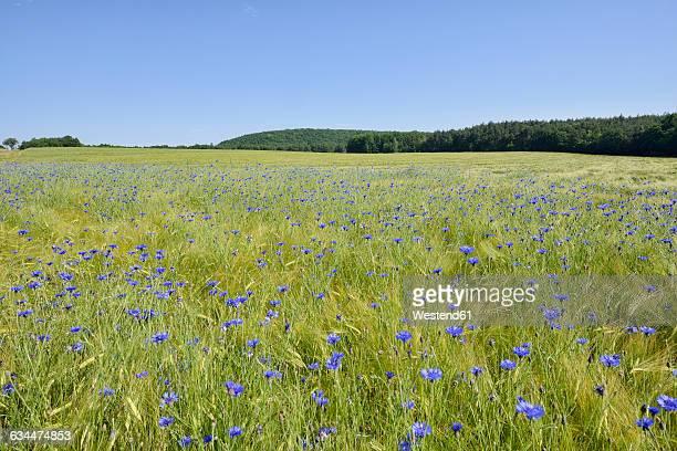 Germany, Bavaria, Franconia, Cornflower in wheat field