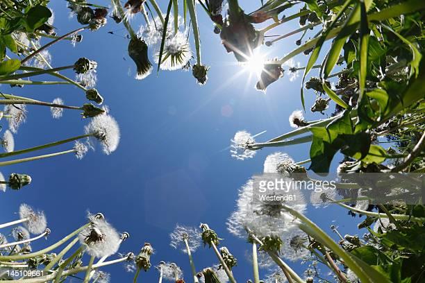 Germany, Bavaria, Franconia, Franconian Switzerland, View of Dandelion flowers in meadow with sun