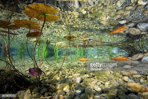 Germany, Bavaria, Goldfish in garden pond