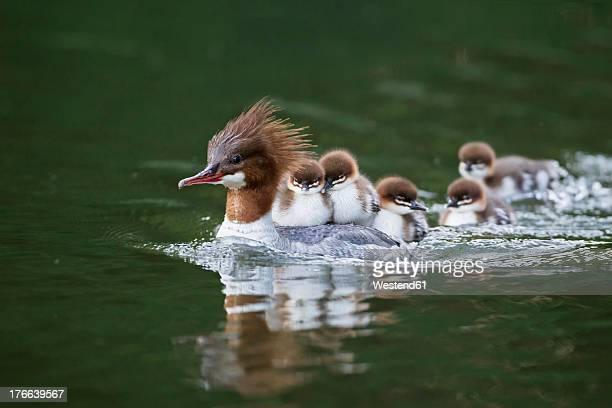 germany, bavaria, goosander with chicks on her back, close up - jeune animal photos et images de collection