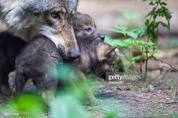 Germany, Bavaria, Gray wolf carrying her pups