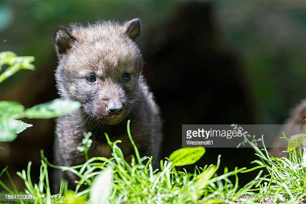 Germany, Bavaria, Gray wolf pup in forest