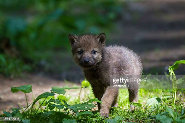Germany, Bavaria, Gray wolf pup walking in forest